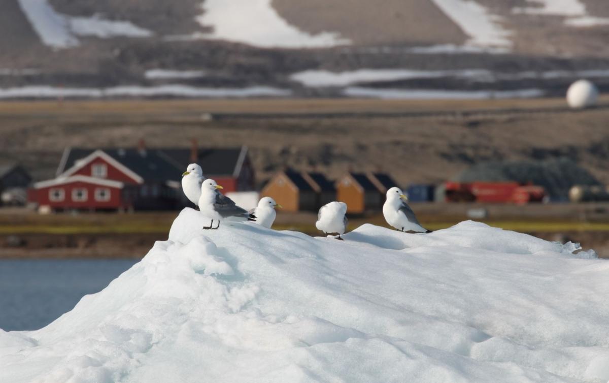 krykkjer på isflak utenfor Ny-Ålesund